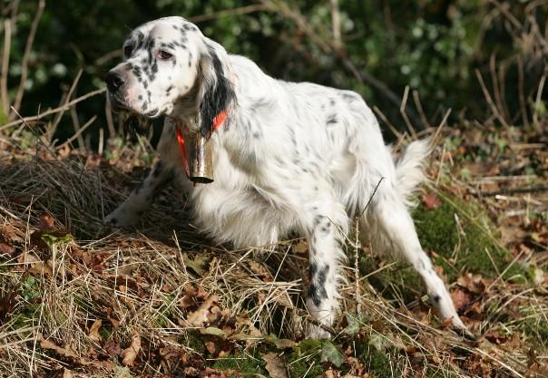 Top Acheter un chien de chasse de race, mode d'emploi ZC58