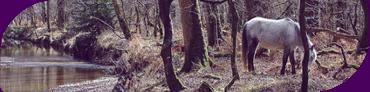 Bosques de New Forest