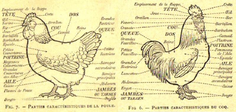 La gale des pattes des poules et coq for Maladie poules perte plumes