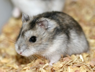 Le hamster russe - Hamster russe panda ...