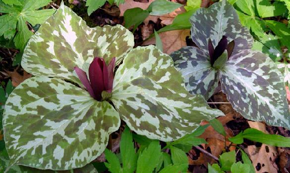 une belle des sous bois TRILLIUM cuneatum # Plantes De Sous Bois Liste