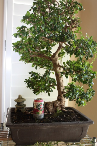 how to look after a bonsai tree outdoors