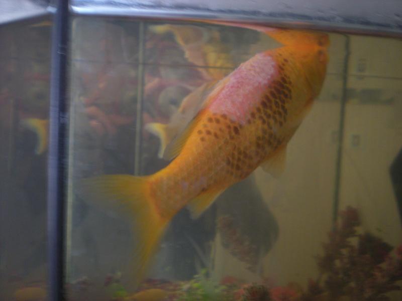 Mon poisson perd ses cailles for Acheter poisson rouge 77