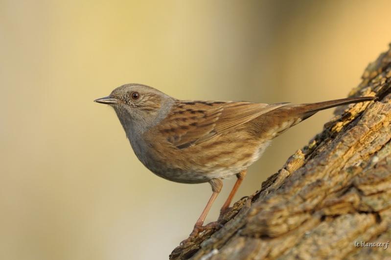 Reconnaitre les oiseaux de nos jardins page 6 for Oiseaux de belgique reconnaitre