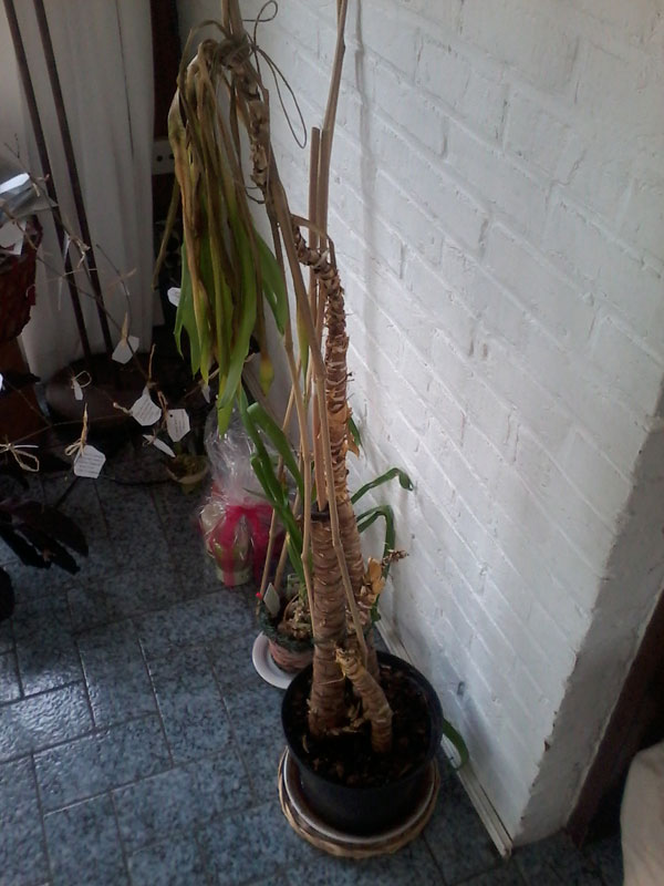 Sauvetage de yucca - Comment tailler un yucca ...