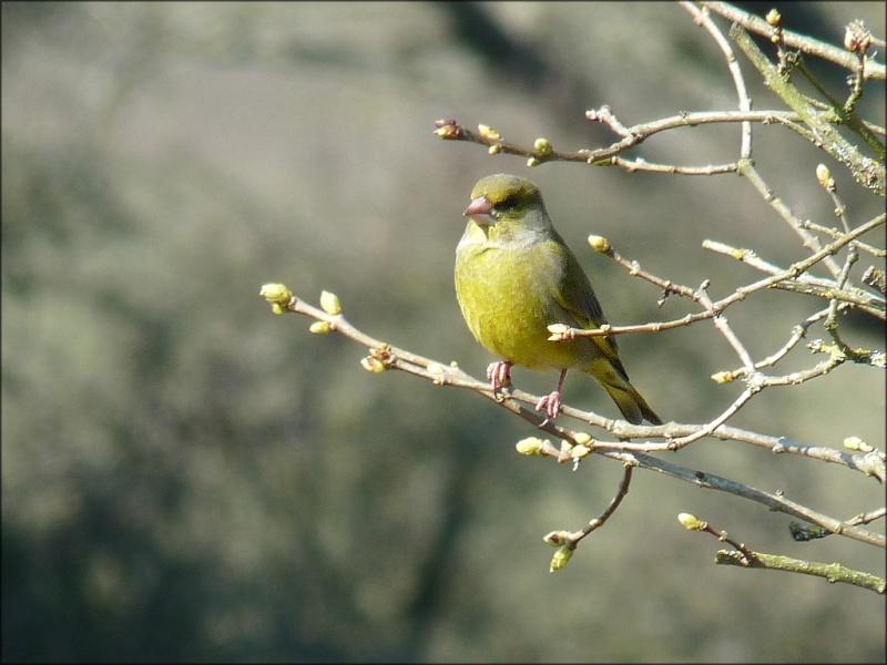 oiseaux reconnaitre les oiseaux de nos jardins page 6. Black Bedroom Furniture Sets. Home Design Ideas