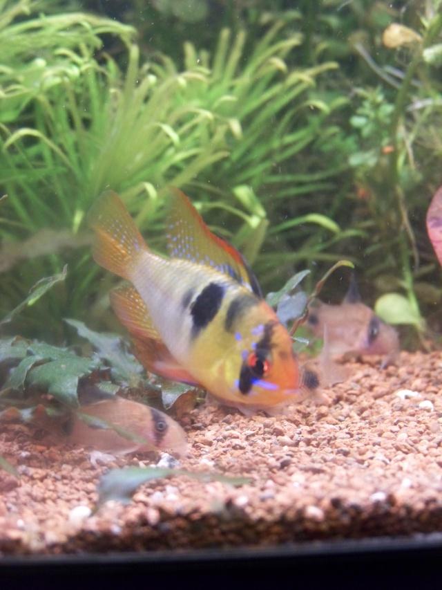 Mon aquarium 120l et mon aquarium 60l page 12 for Poisson aquarium 60l