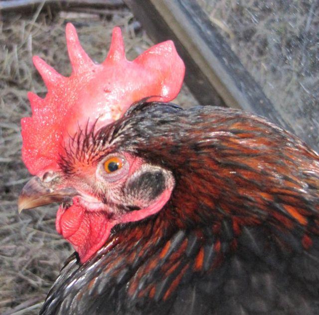 Bronchite infectieuse ou maladie respiratoire for Les maladies des poules